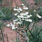 Seeds Aster ptarmicoides-Seeds Wildflowers Aster ptarmicoides (White Upland Aster)