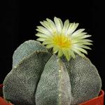 Astrophytum myriostigma-Seeds Cacti Astrophytum myriostigma
