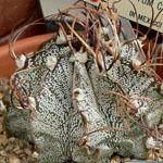 Astrophytum capricorne v. minor-Seeds Cacti Astrophytum capricorne v minor