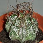Astrophytum crassispinoides-Astrophytum crassispinoides