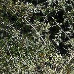 Seeds Atriplex lentiformis-Seeds: Atriplex Lentiformis, Quailbush