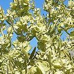 Seeds Atriplex canescens (Four wing saltbush)-Atriplex Canescens, Four Wing Saltbush