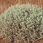 Seeds Atriplex corrugata (Mat Saltbush)-Seeds Atriplex corrugata (Mat Saltbush)