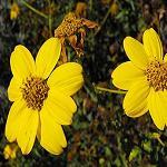 Seeds Bahiopsis laciniata-Bahiopsis laciniata (San Diego Sunflower)