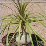 Seeds Beaucarnea recurvata-Nolina recurvata, Beaucarnea recurvata, Ponytail Palm seeds