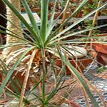 Seeds Beaucarnea gracilis-Beaucarnea gracilis