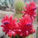 Bolivicereus samaipatanus-Bolivicereus samaipatanus