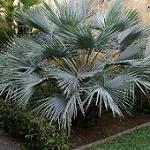 Seeds Brahea armata-Brahea armata (Mexican Blue Palm)
