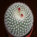Brasilicactus haselbergii-Seeds Cacti Brasilicactus haselbergii