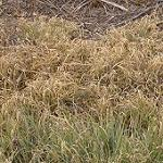 Seeds Buchloe dactyloides (Buffalo Grass)-SEEDS  Native Grasses Buchloe dactyloides (Buffalo Grass)  (Buffalo Grass BISON)native grass prarie grass