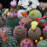 (a) ALL Cactus Varieties Mix-Seeds CACTI  varieties MIX cacti seed
