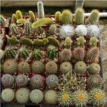 "Cactus Collection (3.5"" pots)-Cactus assortment in 3.5 inch pots"