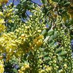 Seeds Caesalpinia cacalaco (Cascalote)-Caesalpinia Cacalaco, Cascalote, CAESALPINIA