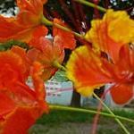 Seeds Caesalpinia pulcherrima (Red bird of paradise)-Seeds, Caesalpina Pulcherrima, Red Bird  CAESALPINIA