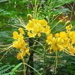 Seeds Caesalpinia pulcherrima (Yellow Flowers)-Caesalpinia pulcherrima (Yellow Flowers)