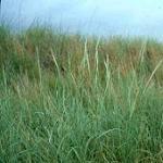Seeds Calamovilfa longifolia (GOSHEN)-SEEDS : Native Grasses Calamovilfa longifolia (Prairie Sandreed) GOSHEN