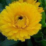 Seeds Calendula 'Bon Bon Yellow'-Calendula 'Bon Bon Yellow' Dwf. Yellow Calendula