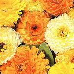 Seeds Calendula 'Fiesta Gitana Mix' Dwarf Calendula-Calendula 'Fiesta Gitana Mix' Dwarf Calendula
