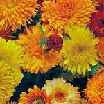 Seeds Calendula officinalis (Pacific Beauty Mix)-Seeds Wildflowers Calendula officinalis (Calendula)