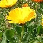 Seeds Calendula officinalis (3-w)-Seeds Wildflowers Calendula officinalis (Calendula)