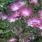 Seeds Calliandra eriophylla (Fairy duster)-Seeds, Calliandra Eriophylla, Fairy Duster