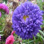 Seeds Callistephus chinensis 'Powder Puff'-Seeds Callistephus chinensis (China Aster) Pink/Purple/White/Rose/Violet