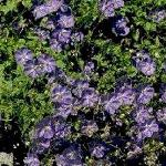 Seeds Campanula carpatica-Seeds Wildflowers Campanula carpatica (Tussock Bellflower)