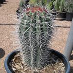 Pachycereus pringlei (Cardon)-Pachycereus Pringlei (False Saguaro / Cardon)