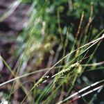 Seeds Carex lanuginosa (Woolly Sedge)-Seeds Carex lanuginosa (Woolly Sedge)