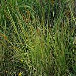 Seeds Carex vulpinoidea (Fox Sedge)-Seeds Carex vulpinoidea (Fox Sedge)