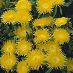 Seeds Carpanthea pomeridiana-Carpanthea pomeridiana