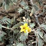 Seeds Cassia covesii-Seeds Wildflowers Cassia covesii (Desert Senna)