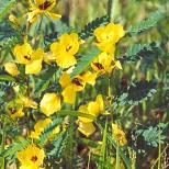Seeds Cassia fasciculata (Partridge pea)-Seeds Wildflower Cassia fasciculata (Partridge pea)