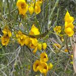 Seeds Cassia phyllodinea (Silver senna)-Seeds, Cassia Phyllodinea (Silver Senna)