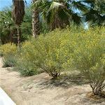 Seeds Cassia sturtii (Sturt's cassia)-Seeds, Cassia Sturti, Sturt's Cassia
