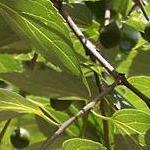 Seeds Celtis reticulata (Netleaf hackberry)-Celtis Reticulata, Netleaf Hackberry