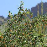 Seeds Celtis pallida (Desert hackberry)-Seeds Celtis pallida (Desert hackberry)