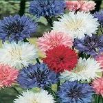 Seeds Centaurea cyanus (Tall mixed colors)-Centaurea cyanus (Tall mixed Blue/Purple/Pink/White)