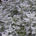 Seeds Cerastium biebersteinii-Seeds Wildflowers Cerastium biebersteinii (Snow-in-Summer)