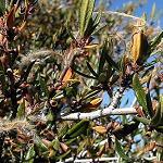 Seeds Cercocarpus ledifolius-Cercocarpus ledifolius (Curl Leaf Mountain Mahogany)