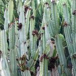 Cereus type (Columnar)