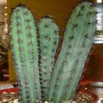 Cereus aethiops-Seeds Cacti Cereus aethiops