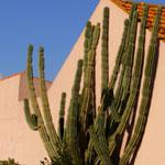 Cereus forbesii-Cereus forbesii, Piptanthocereus forbesii, Piptanthocereus validus, Cereus forbesii