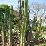 Cereus jamacaru-Seeds Cacti Cereus jamacaru