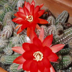 Chamaecereus silvestrii hybrid-Seeds Cacti Chamaecereus silvestrii hybr.