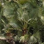 Seeds Chamaerops humilis-Seeds Chamaerops humilis (Mediterranean fan palm