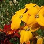 Seeds Cheiranthus cheiri-Seeds Wildflowers Cheiranthus cheiri (English Wallflower)