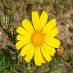 Seeds Chrysanthemum coronarium (Garland daisy)-Seeds Wildflowers Chrysanthemum coronarium (Garland daisy) Yellow   Seeds Wildflowers Chrysanthemum