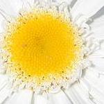 Seeds Chrysanthemum maximum (White Shasta Daisy)-Chrysanthemum maximum seeds Wildflowers  (Shasta Daisy)