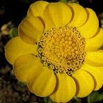 Seeds Chrysanthemum multicaule (Yellow Daisy)-Seeds Chrysanthemum multicaule (Yellow Daisy)